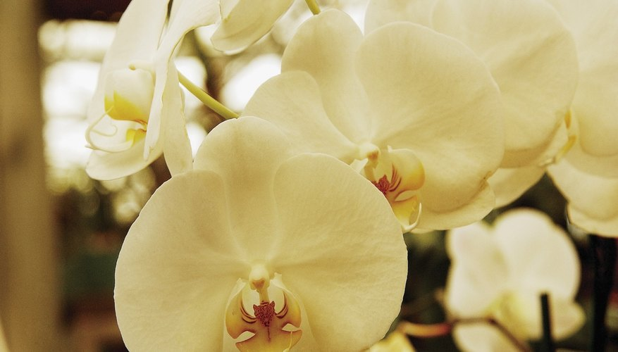 White orchids in bloom