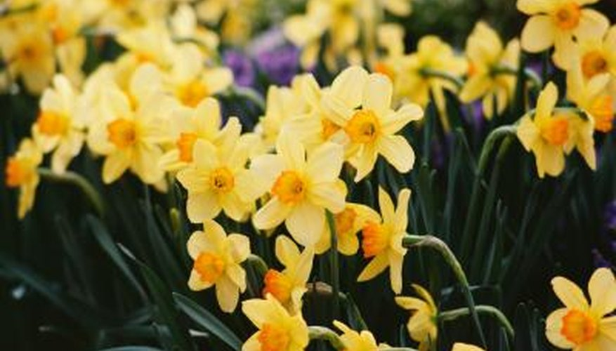 Daffodils, one of the national emblems of Wales, are often worn on St. David's Day.