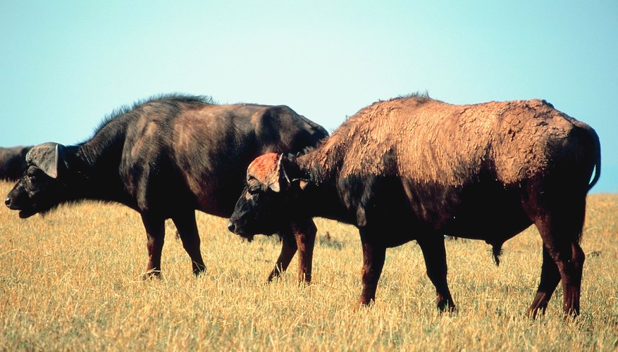 The buffalo was a plentiful resource for the Apache Indians.