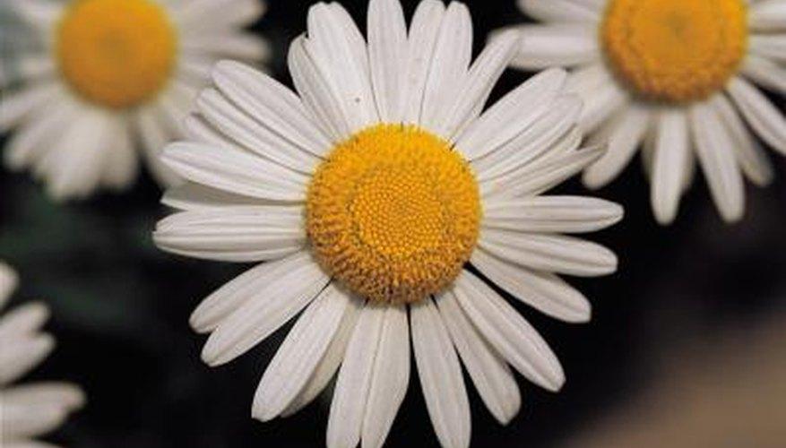 Caterpillars often feed on daisy petals.