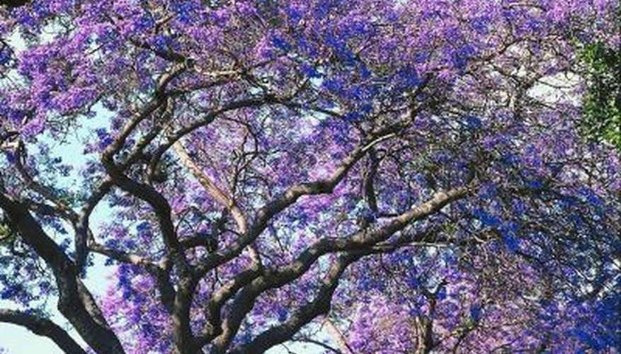 Jacaranda trees are common in Southern California.