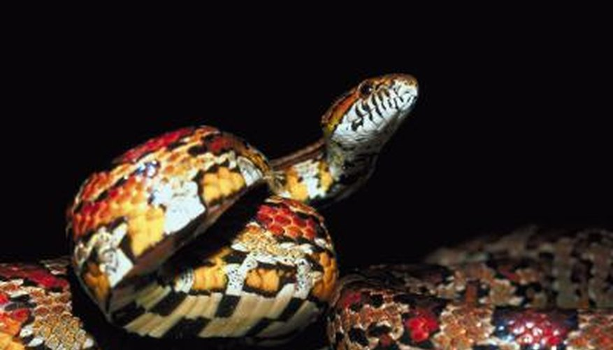 Capturing an escaped baby corn snake can be tough, but not impossible.