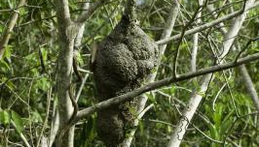 Preserving a wasp nest can make it last nearly indefinitely.