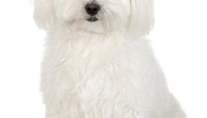 The cavachon is a mixed breed between a Bichon Frise and a Cavalier King Charles spaniel.