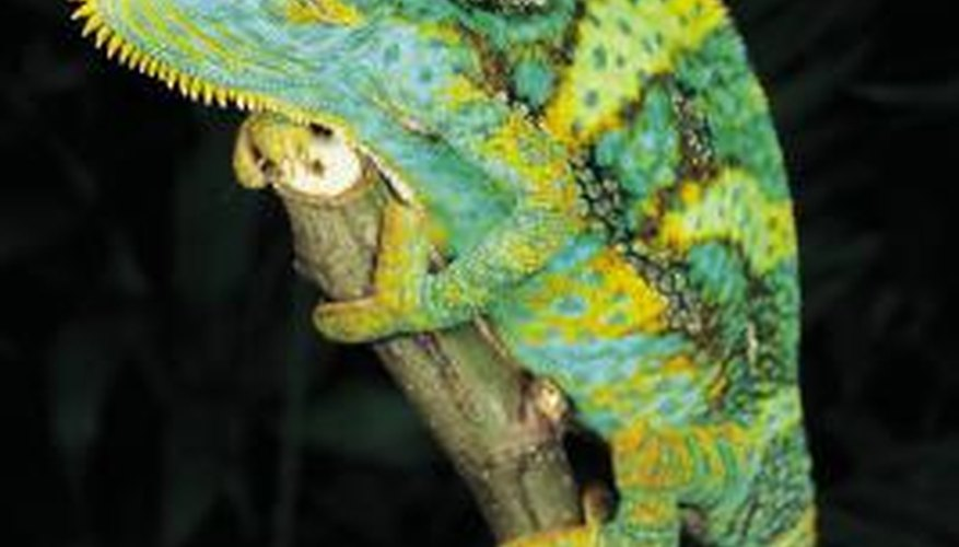 Chameleons change colour depending on their mood or the temperature.