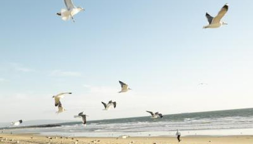 Seagulls are often found in large numbers at beaches frequented by people.