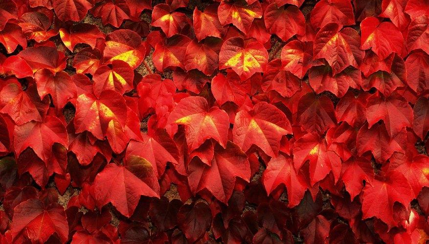 Virginia creeper provides beautiful autumn foliage.