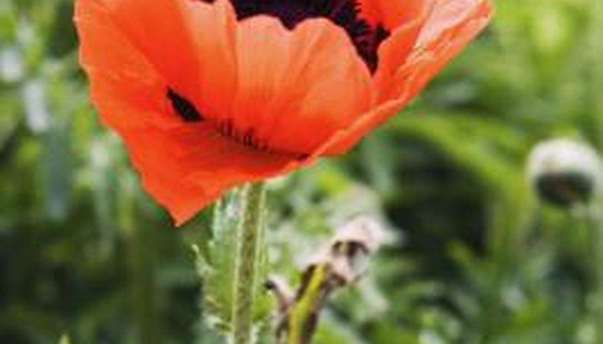 Plenty of alternatives to the opium poppy exist for the home garden.