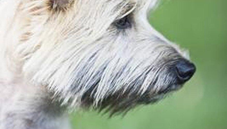 Keep an aggressive Cairn terrier away from children.