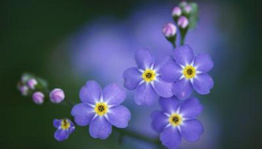 Forget-me-nots have little blue flowers.