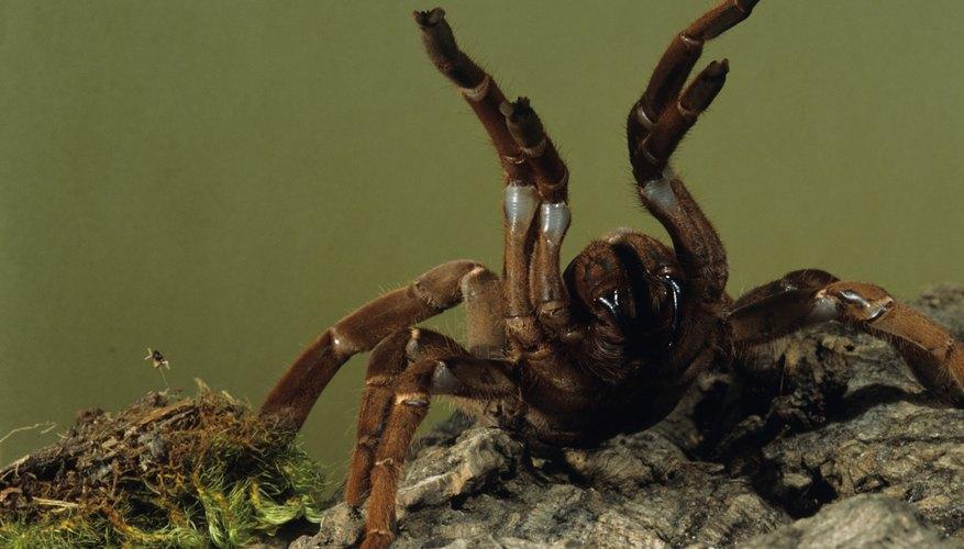 Tarantulas' threatening posture is rare among spiders.
