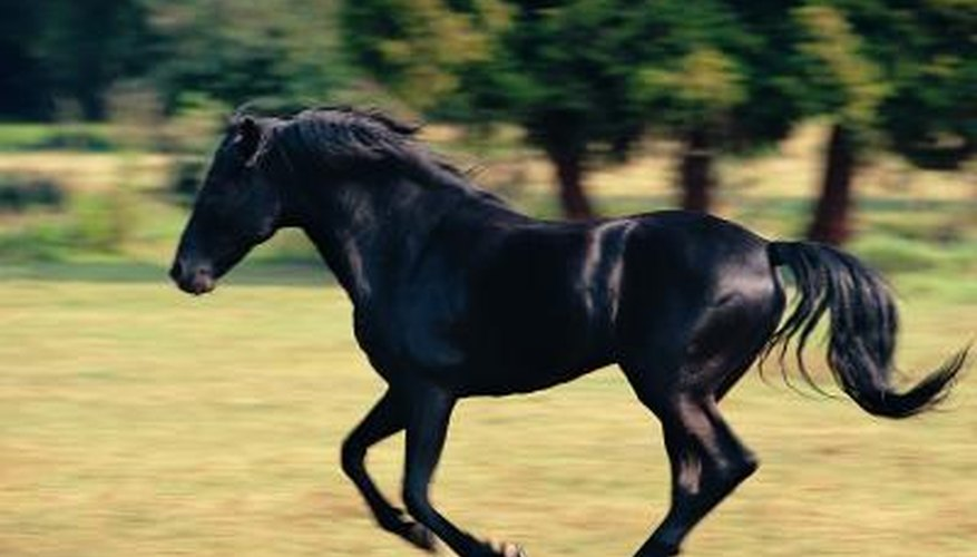 The glossy black coat of a Friesian can be maintained with good feeding.