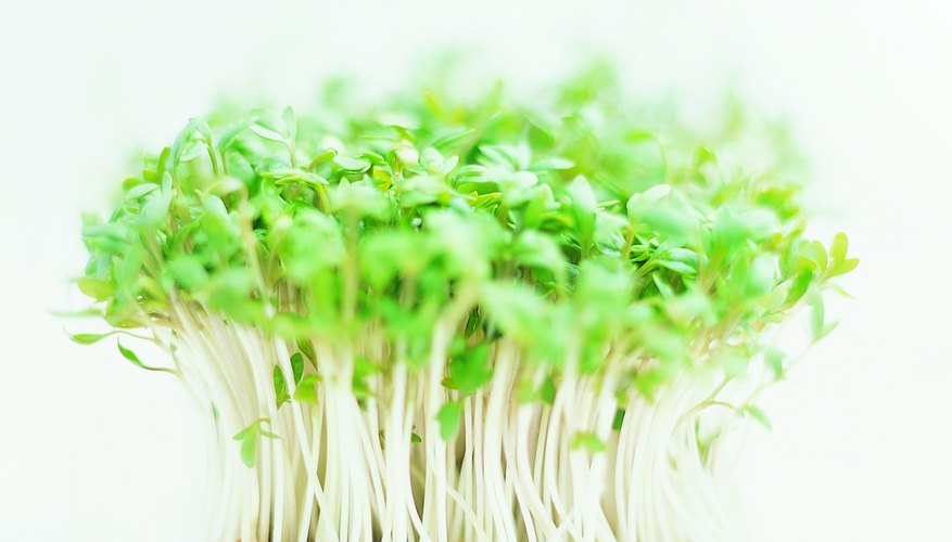Growing cress is an easy and fun activity for kids.