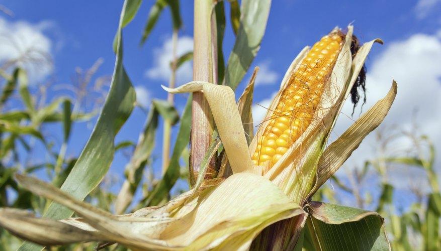 A closeup of a cornfield on a blue skye day