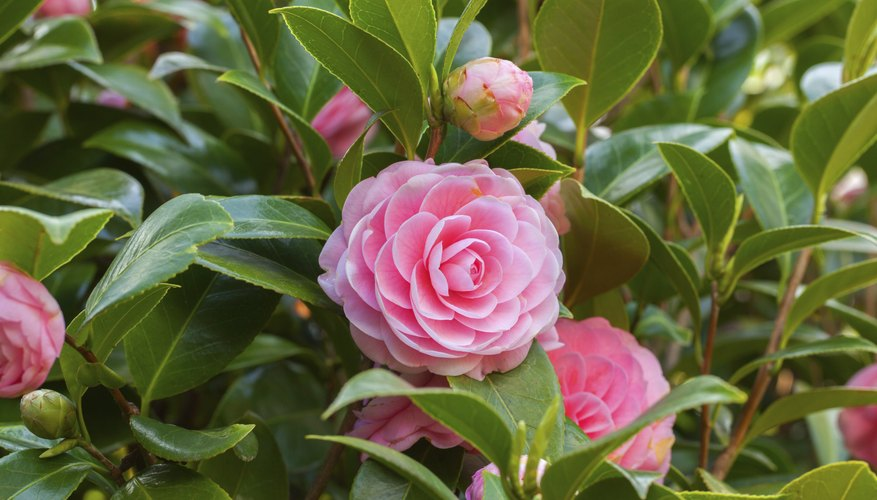 Gorgeous pink camelias blooming on a bush.