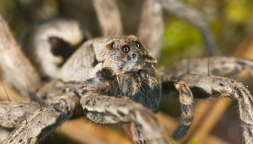 Wolf spiders have excellent eyesight.