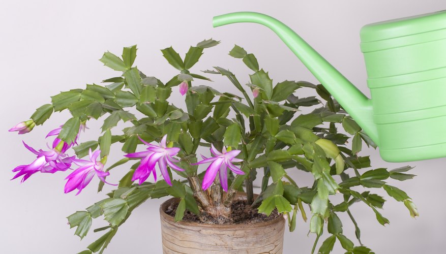 Christmas cactus and watering can.
