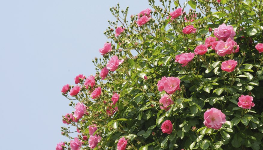Some roses are more susceptible to caterpillars than others.