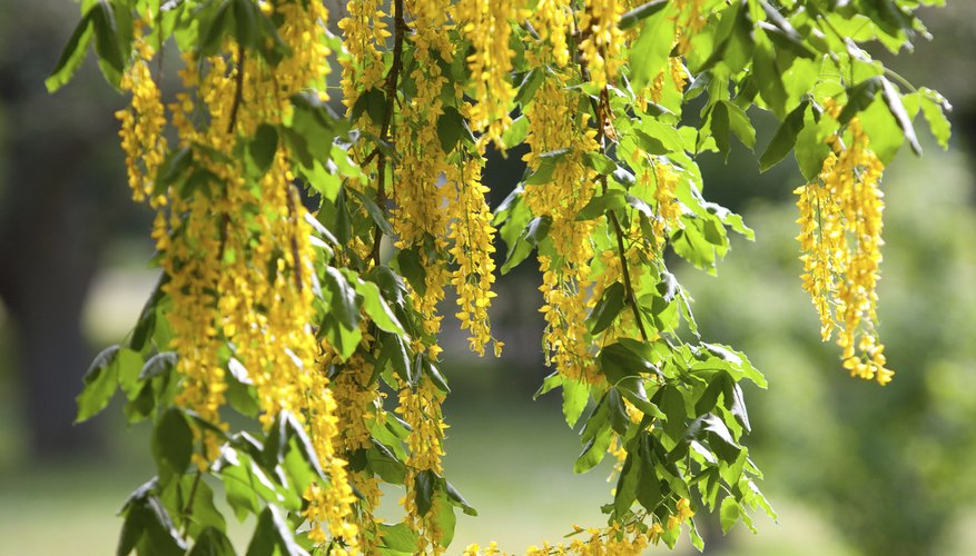 The laburnum is only in flower for two weeks.