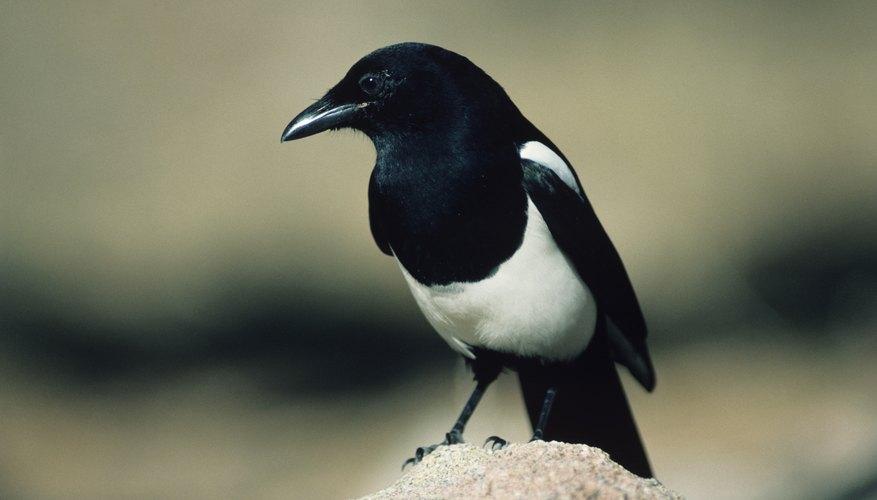 The ubiquitous magpie.