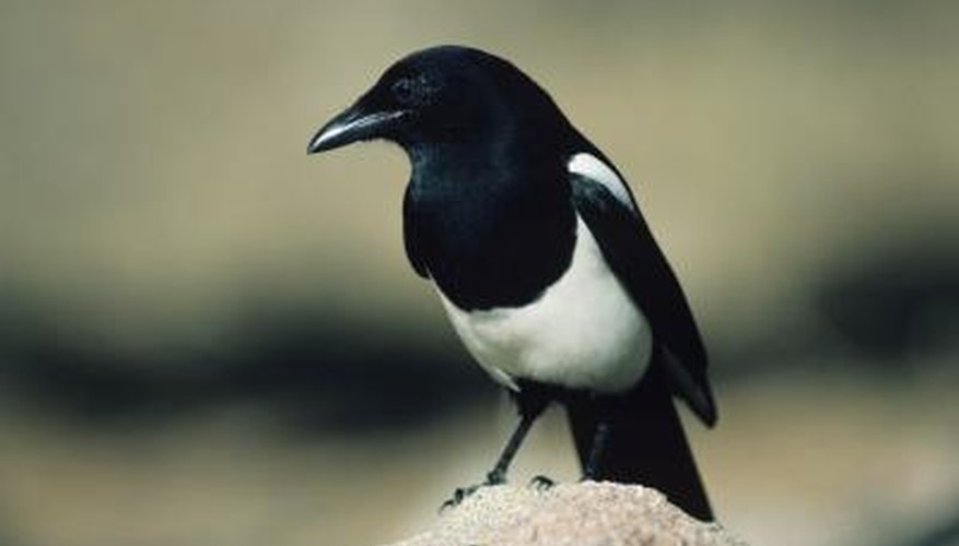 Black-billed magpies are easily identified by their black-and-white feathers and long tails.