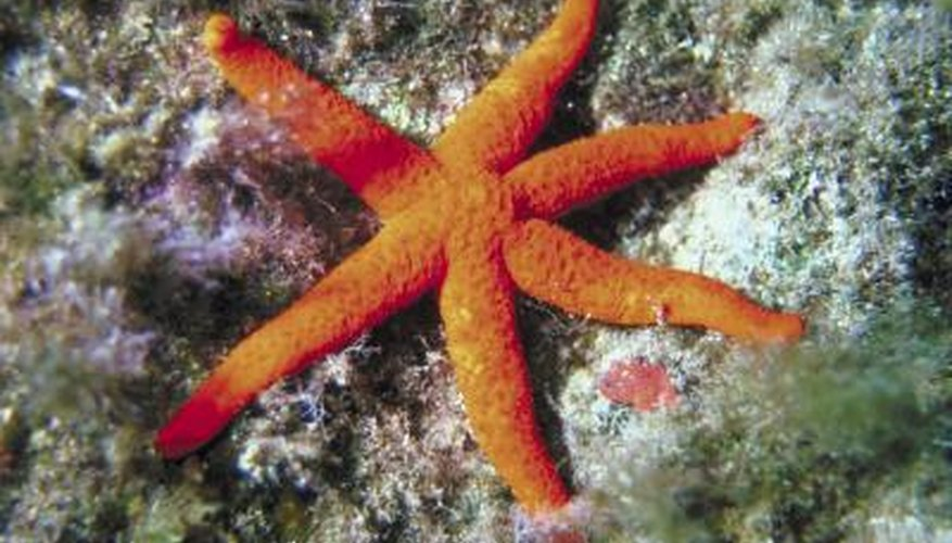 Starfish feast on mussels and other small underwater creatures.