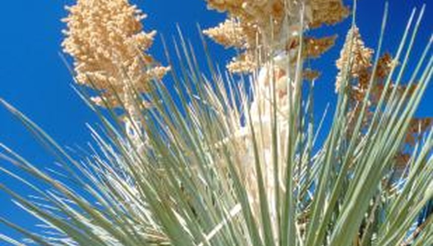 Yucca plants multiply readily by creating pups, or baby plants.