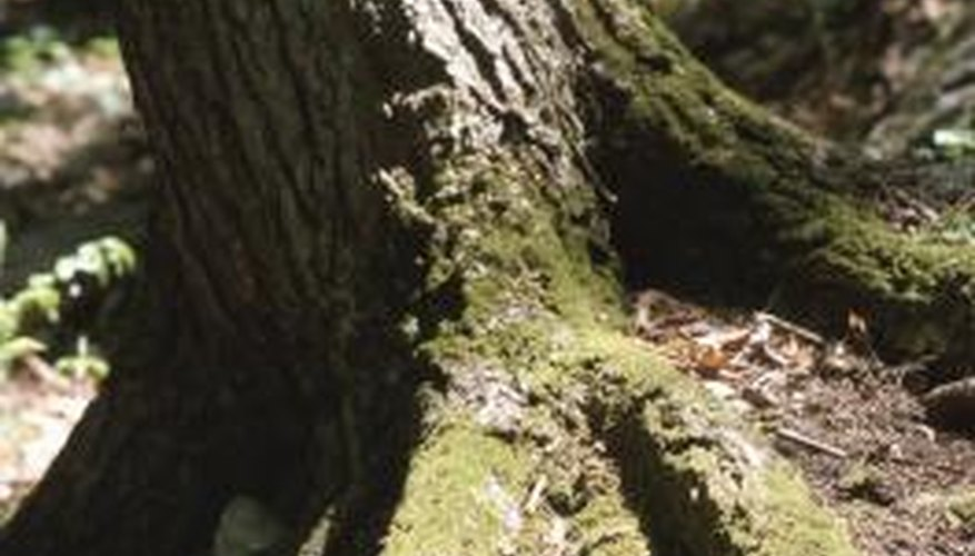 Use caustic soda to kill invasive trees that cause problems.