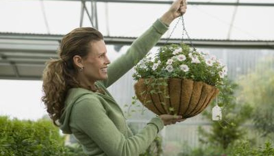 Liquid plant food is added to prepotted hanging baskets every other week.