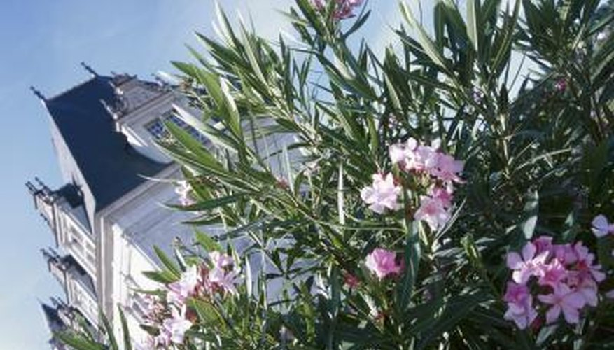 Care for your oleander shrub to prevent yellowing leaves.
