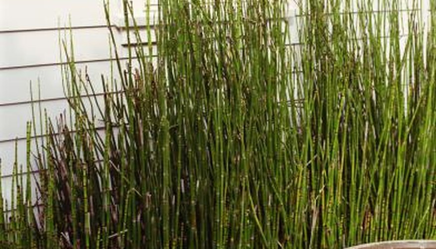 To keep it in check, grow Equisetum hyemale in containers sunk in the ground.