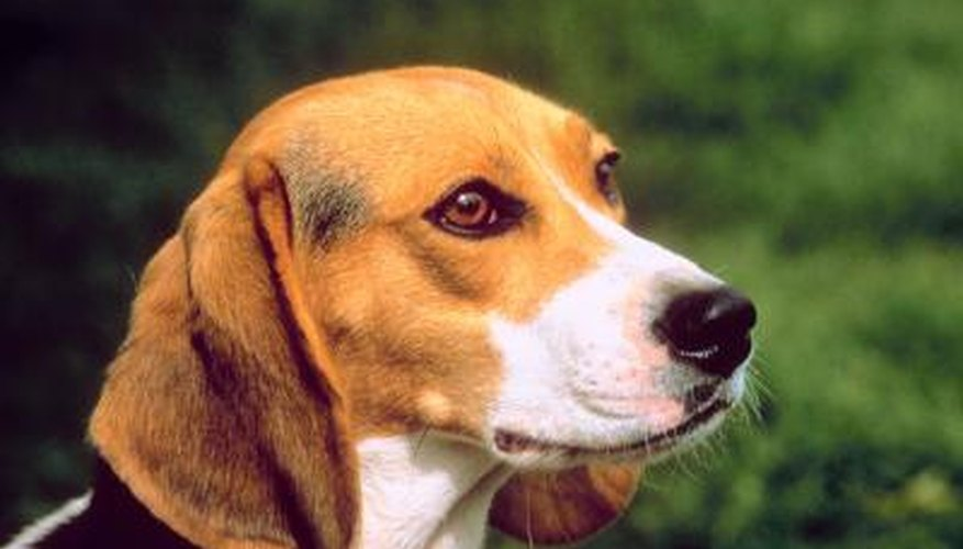 Beagles are intelligent dogs and fairly easy to train.