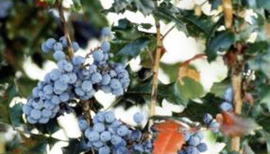 Oregon grape has leathery hollylike leaves.