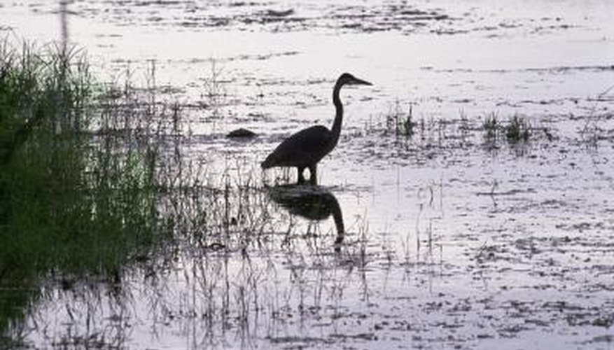 The long legs of the great blue heron aid in hunting within wet habitats.