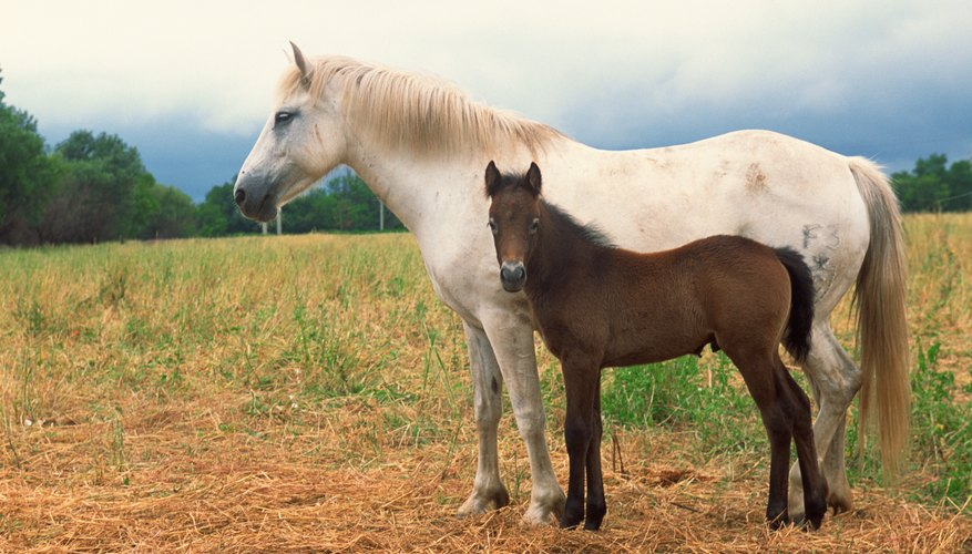 Horse mating is not as straight forward as you may think...
