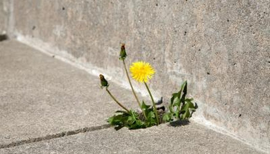 Muriatic acid is especially effective against weeds that grow through cracks in a sidewalk.