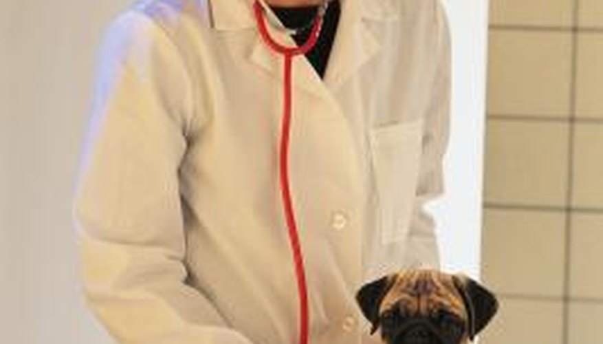 Your veterinarian can inform you of what to expect during pug labour.
