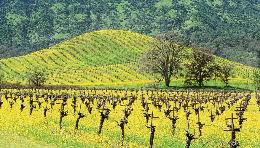 Mustard seed vineyard.