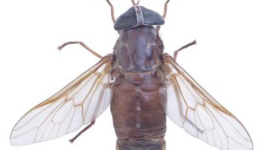 Culture blue bottle flies at home for an ever-ready food source for reptiles.
