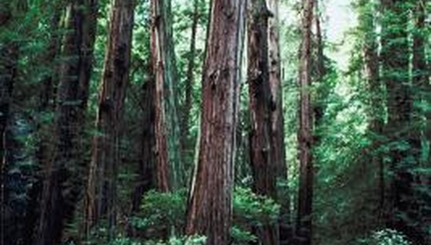 Coniferous forests, such as Muir Woods, are home to the world's oldest trees.