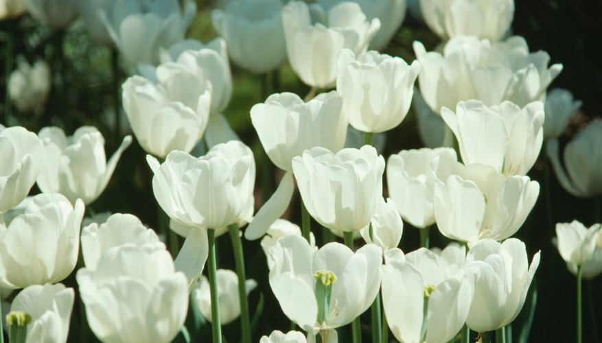 White tulips represent forgiveness in many cultures.
