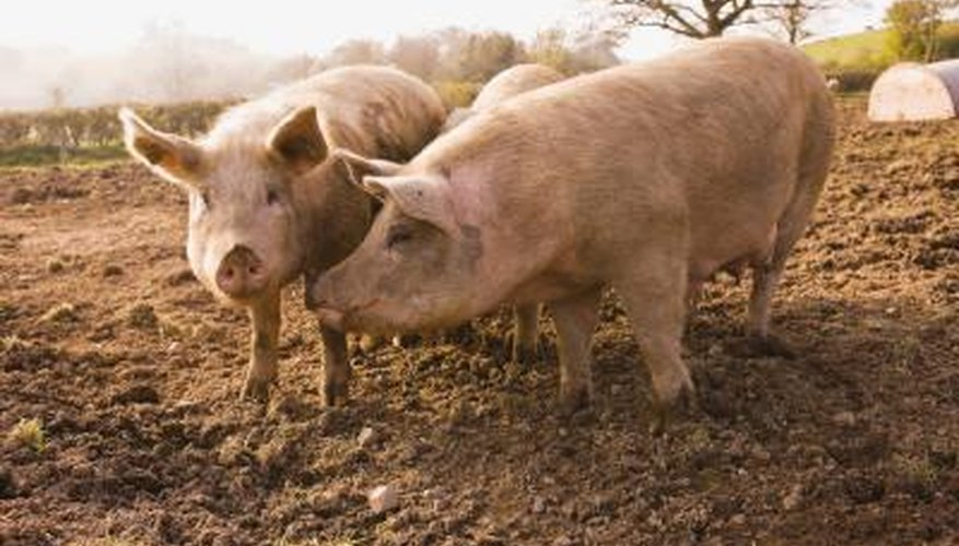 Female pigs are classified into gilts and sows.
