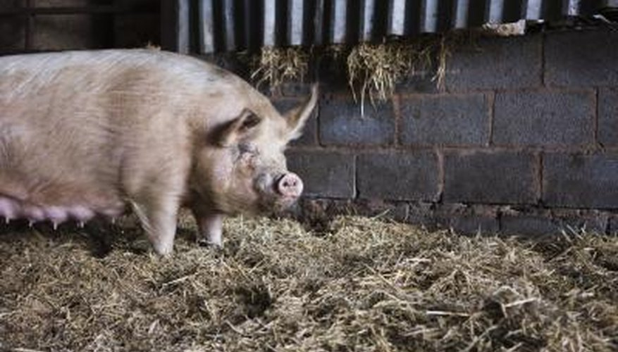 Jews are forbidden to eat meat that comes from a pig.