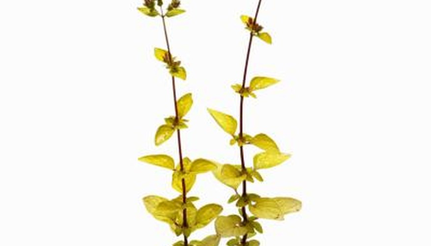 The flavour of oregano is most potent in its leaves.