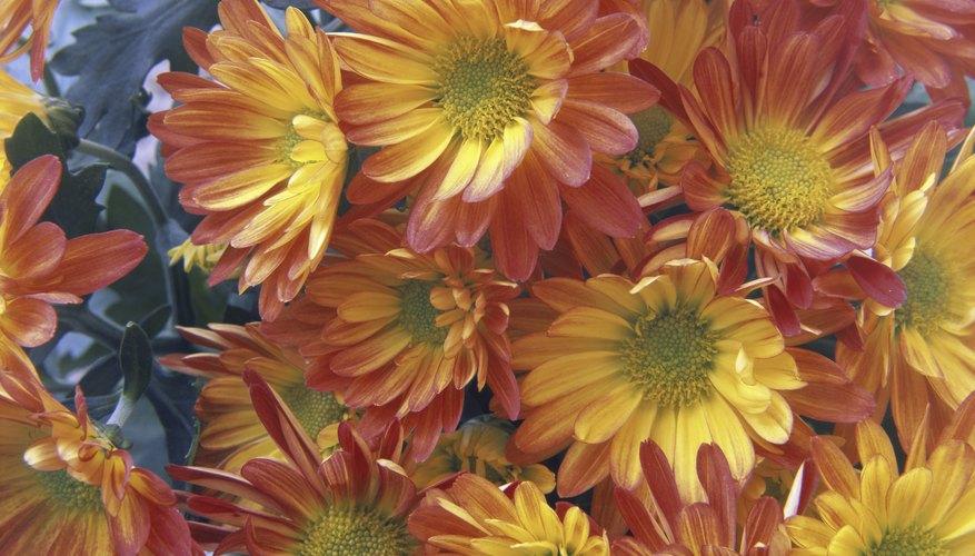 Orange and yellow chrysanthemums