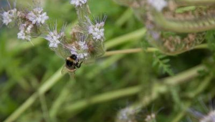 Lavender plants attract bees.
