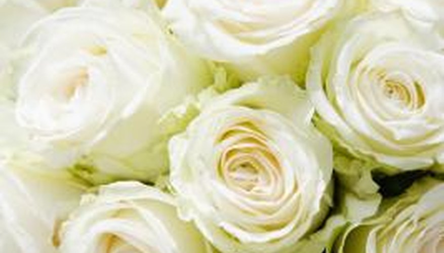 Few white roses are purely and completely white.