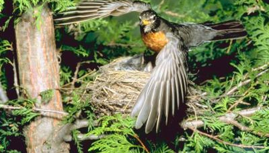 A female robin uses the wrist of a wing to neatly shape its nest.