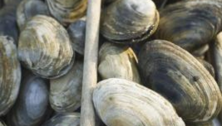 A clam's rings tell its age, like the rings of a tree, if you know how to read it.