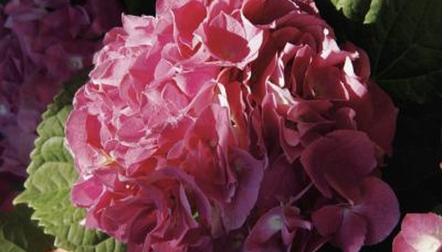 Hydrangea leaves may turn yellow from over watering.